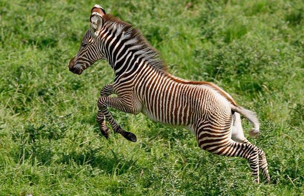 Baby Zebras In Africa ANIMALS IN ADRI...