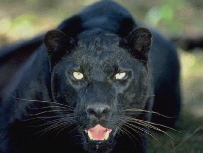 Black Panthera Shamanic 74