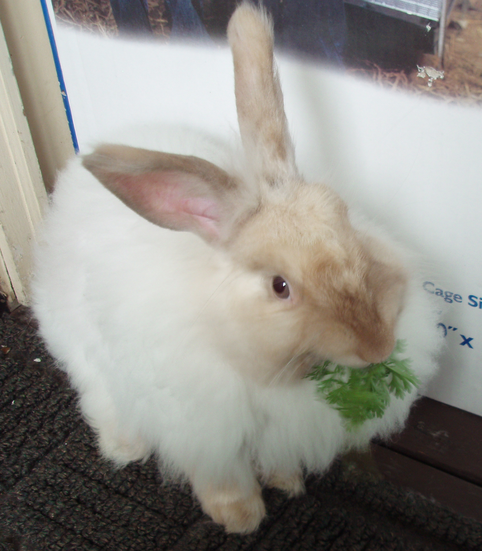 english angora rabbits - photo #40