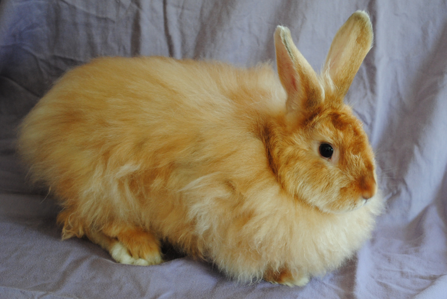 RED SATIN ANGORA RABBIT - NEW YORKRed Mini Satin Rabbit