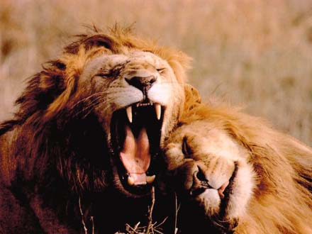 http://www.greatdreams.com/cats/lions2.jpg
