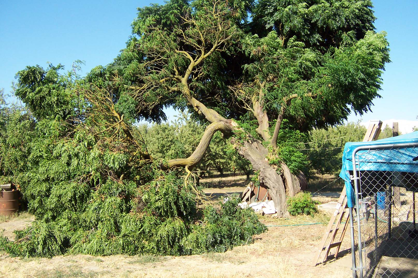 chinaberry tree broken